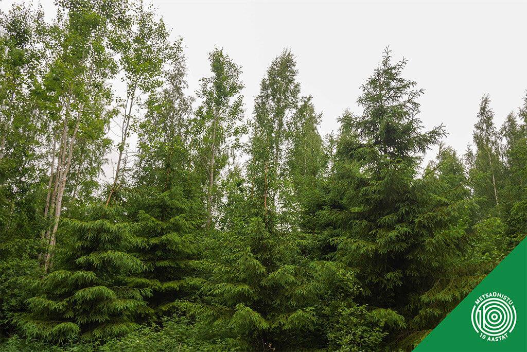 Kuusevõrsed. Metsaühistu