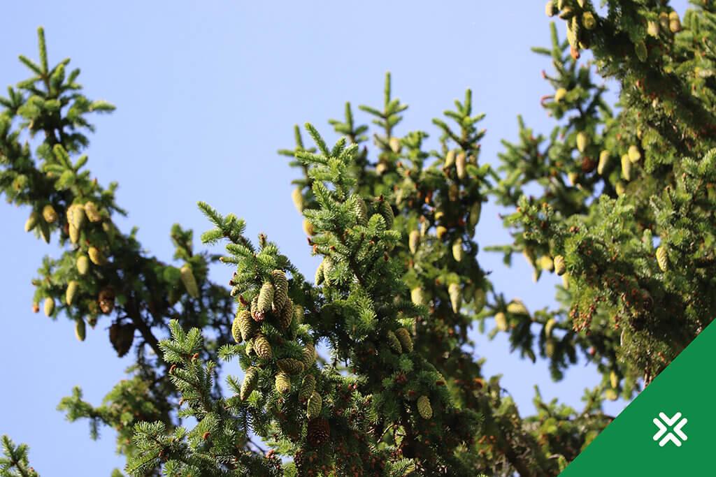 Aastapuu kuusk. Kuusekäbid. Metsaühistu